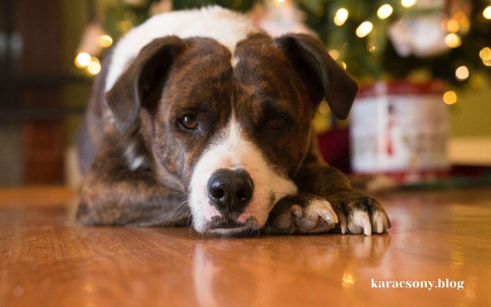 Kutya karácsonyi ajándék