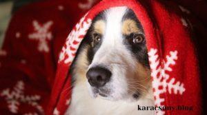 Kutya piros takaróval