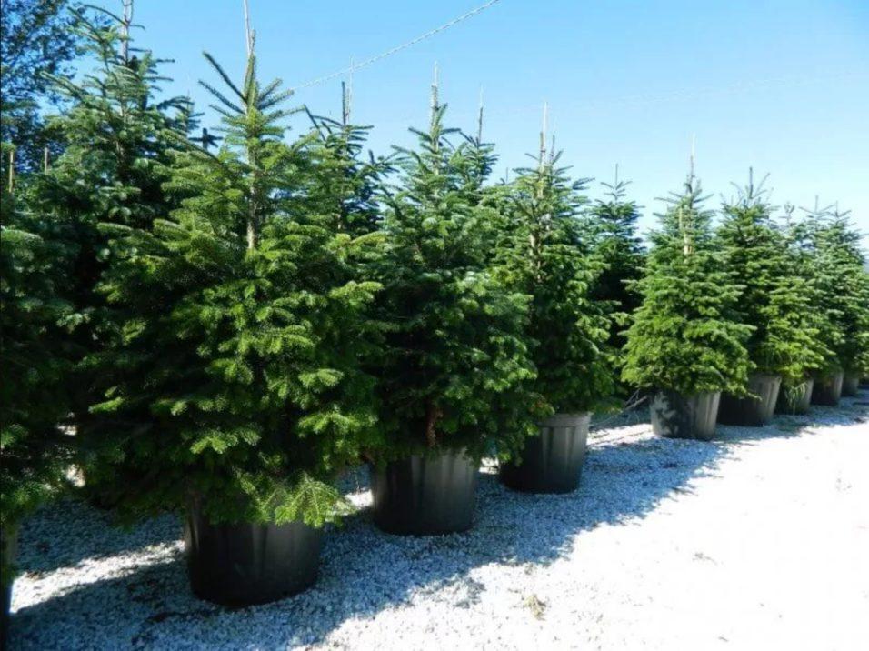 Élő karácsonyfa
