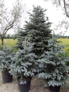 Élő karácsonyfa kiültetése